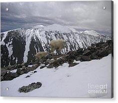 Goats On Quandary Acrylic Print