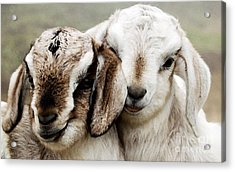 Goats Painting Acrylic Print by Marvin Blaine