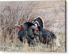 Gobbling Turkeys Acrylic Print
