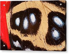 Godart's Numberwing Butterfly Wing Acrylic Print by Pete Oxford