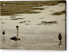 Acrylic Print featuring the photograph Godwit Days by Jon Exley