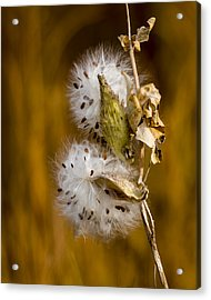 Going To Seed Acrylic Print