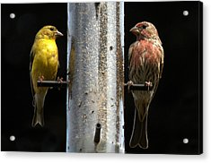 Acrylic Print featuring the photograph Gold And Purple Finch by Geraldine Alexander