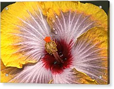 Gold And Silver And Ruby Hibiscus Close Up Acrylic Print by Byron Varvarigos