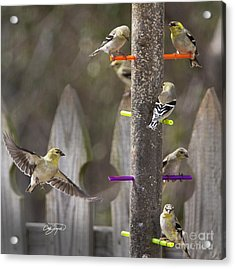 Gold Finch Cleared For Landing Acrylic Print by Cris Hayes