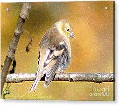 Gold Finch Acrylic Print
