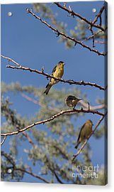 Gold Finches I Have Your Back Acrylic Print by Crush Creations