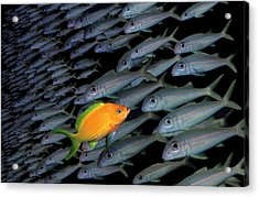 Gold Fish Swimming Opposite Direction To Grey Shoal Acrylic Print by Steve Bloom