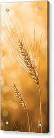 Gold Grain Acrylic Print by Veronica Minozzi