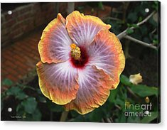 Acrylic Print featuring the photograph Gold Rim Hibiscus by Susan Wiedmann