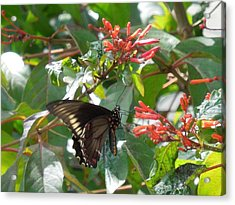 Acrylic Print featuring the photograph Gold Rim Swallowtail by Ron Davidson