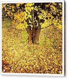 Golden And Yellow Autumn Leaves Acrylic Print