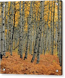 Golden Aspen Forest Acrylic Print