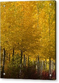 Acrylic Print featuring the photograph Golden Aspens by Don Schwartz