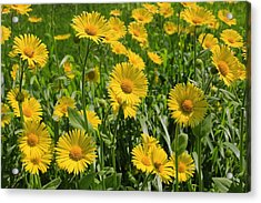 Golden Asters Acrylic Print