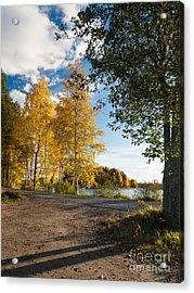 Golden Autumn Birches Acrylic Print