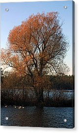 Golden Autumn Acrylic Print by Rhonda Humphreys