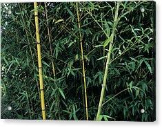 Golden Bamboo (phllostachys Aurea) Acrylic Print by Sally Mccrae Kuyper/science Photo Library
