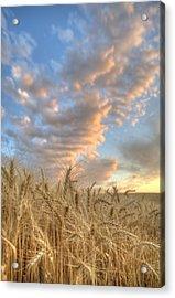 Golden Barley Acrylic Print