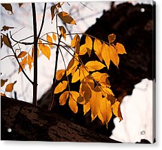 Golden Beech Leaves Acrylic Print