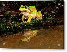 Golden Bell Treefrog, Litoria Aurea Acrylic Print by David Northcott