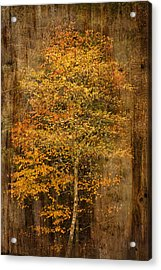 Golden Birch Acrylic Print by Liz  Alderdice