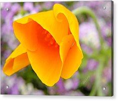 Golden California Poppy Acrylic Print by Chris Berry
