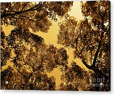 Golden Camphor Acrylic Print by CML Brown