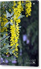 Golden Chain Acrylic Print by Denise Pohl