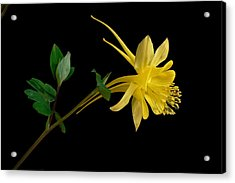 Golden Columbine Acrylic Print