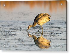 Golden Crane Reflections Acrylic Print