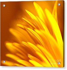Golden Dahlia Acrylic Print