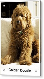 Golden Doodle Acrylic Print by Madeline Ellis