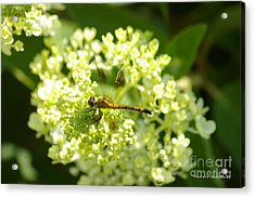 Golden Dragonfly Acrylic Print by Tannis  Baldwin