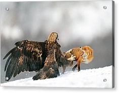 Golden Eagle And Red Fox Acrylic Print