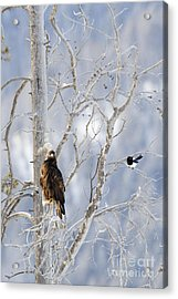 Golden Eagle And The Magpie Acrylic Print
