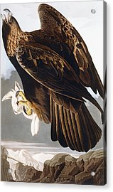 Golden Eagle Acrylic Print by John James Audubon