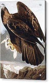 Golden Eagle Acrylic Print by John James Audubon