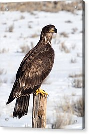 Golden Eagle On Fencepost Acrylic Print