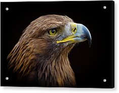 Golden Eagle Acrylic Print by Peter Orr Photography