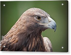 Golden Eagle Acrylic Print by Tyson and Kathy Smith