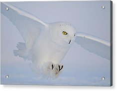 Golden Eyes On The Hunt Acrylic Print by Yves Adams