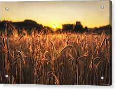 Acrylic Print featuring the photograph Golden Fields by Ryan Wyckoff