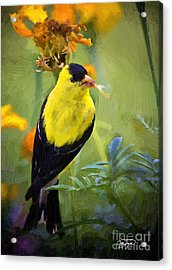 Golden Floral Finch Acrylic Print by Cris Hayes