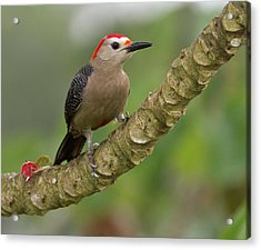 Golden-fronted Woodpecker (melanerpes Acrylic Print by William Sutton
