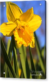 Golden Glory Daffodil Acrylic Print by Kathy  White