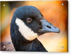 Golden Goose Acrylic Print