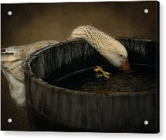 Golden Goose Acrylic Print by Robin-Lee Vieira