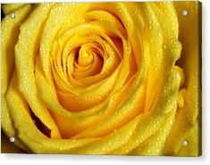 Golden Grandeur Of Nature. Yellow Rose I Acrylic Print by Jenny Rainbow