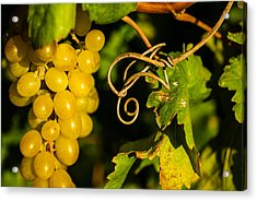 Golden Grapes On Vines Acrylic Print by Meir  Jacob